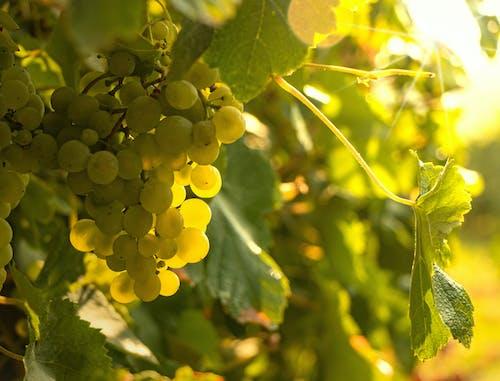 Green Grapes in Tilt Shift Lens