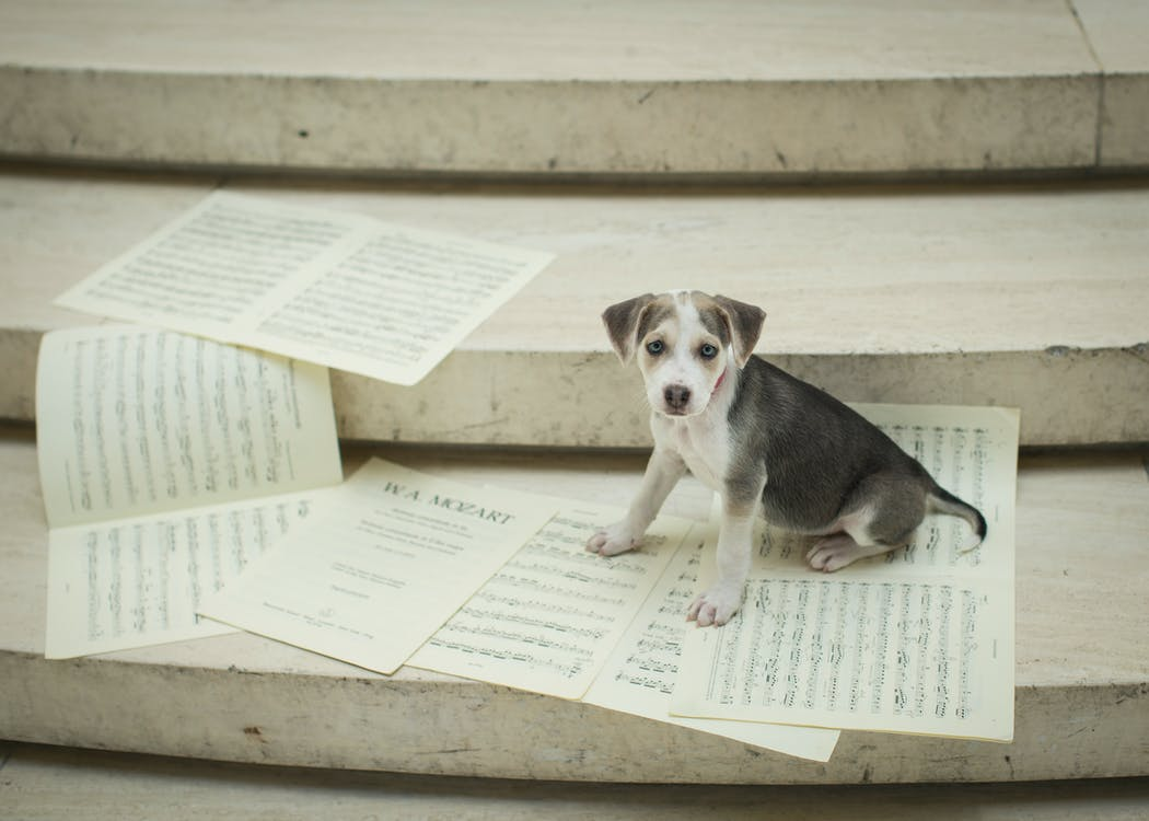 Tricolor Beagle Puppy on Book Page