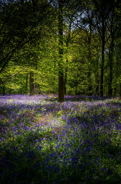 Free stock photo of bluebells, forests, springtime