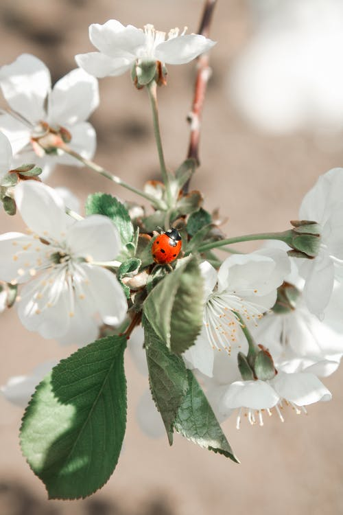 Red Ladybug Perched on White Flower in Close Up Photography