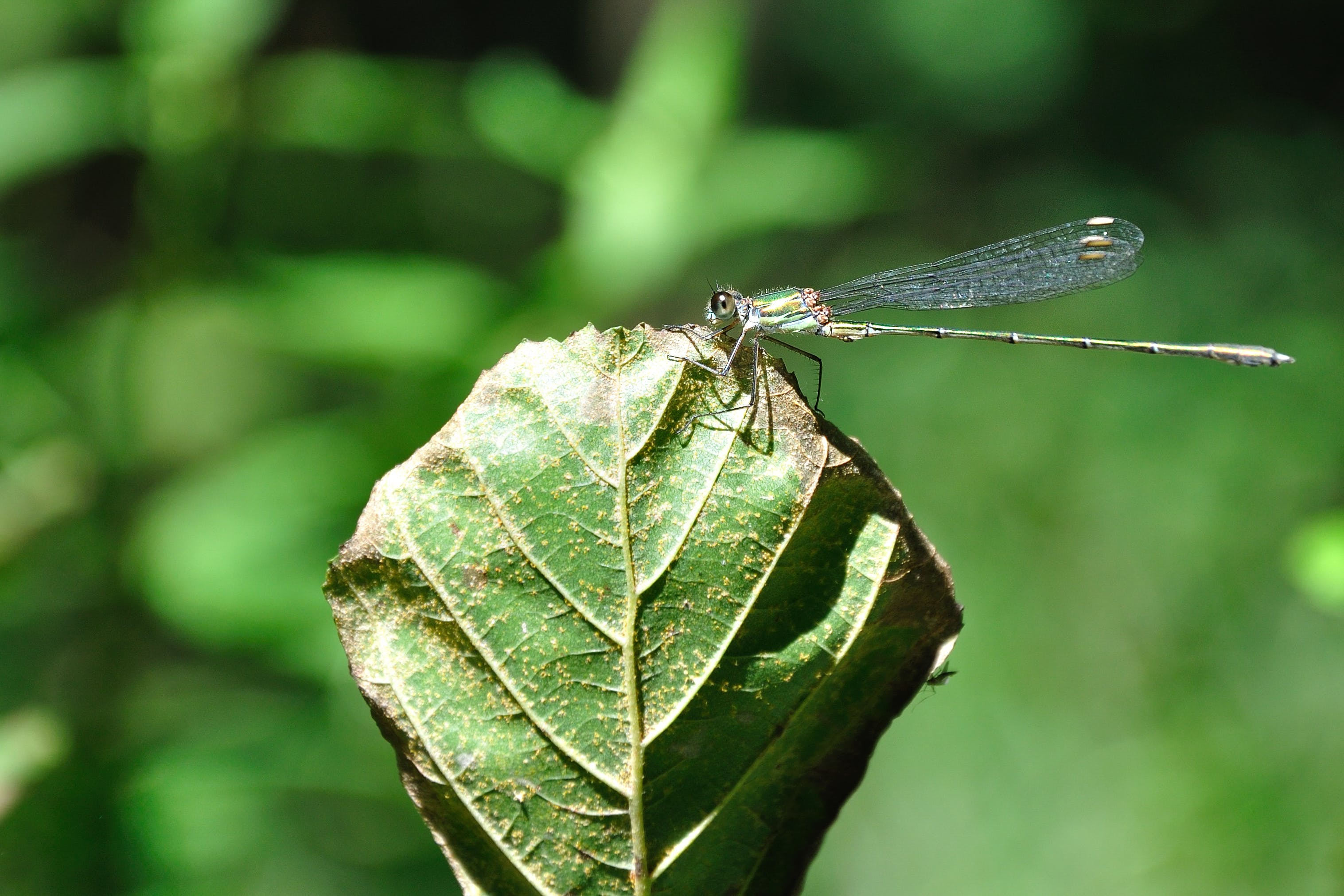 Kostenloses Stock Foto zu blatt, insekt, libelle