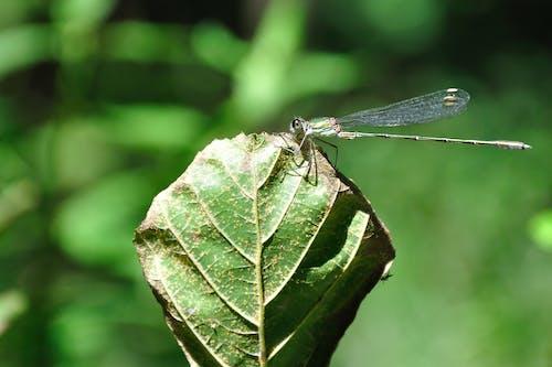 Gratis arkivbilde med insekt, nærbilde, øyenstikker