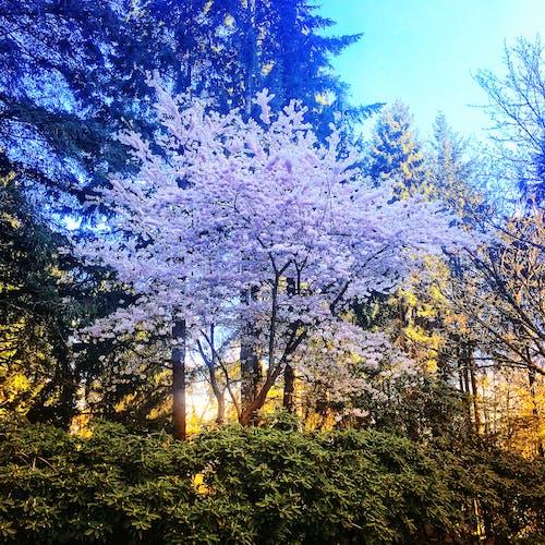Free stock photo of blossoms, cherry blossom, foliage