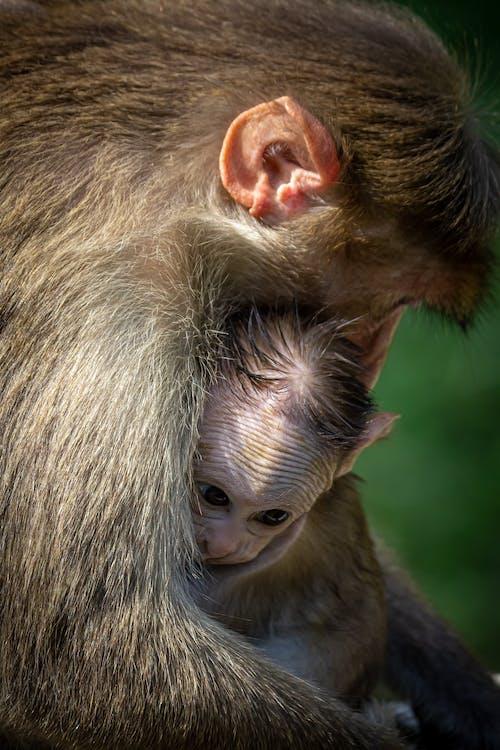 Free stock photo of baby monkey, canon, child
