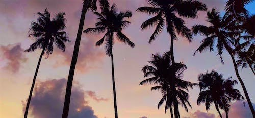 Free stock photo of android wallpaper, beautiful sky, coconut tree, evening