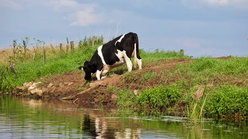 Cow Eating Grass Near Body of Water