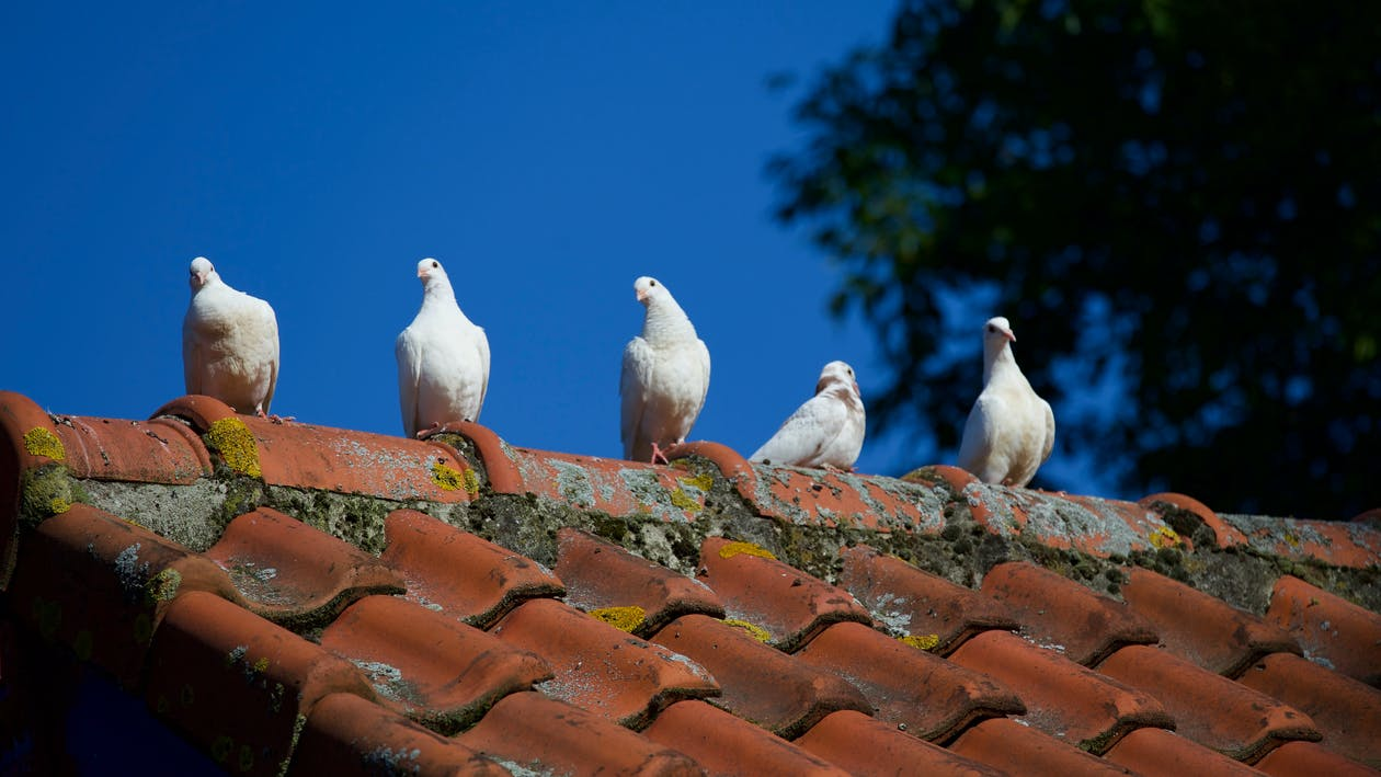 Five White Pigeons on Roof