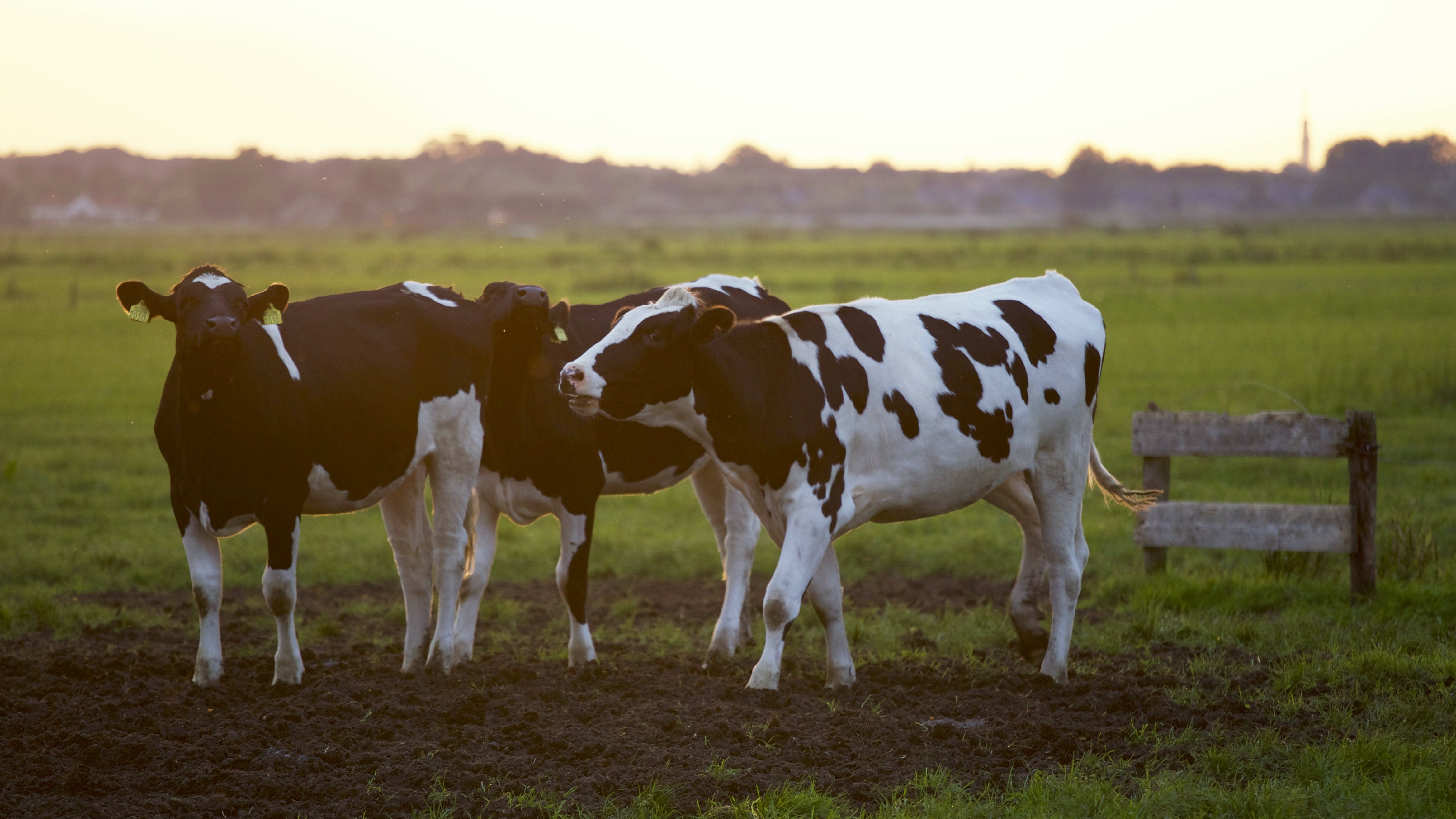 Three Black-and-white Cows