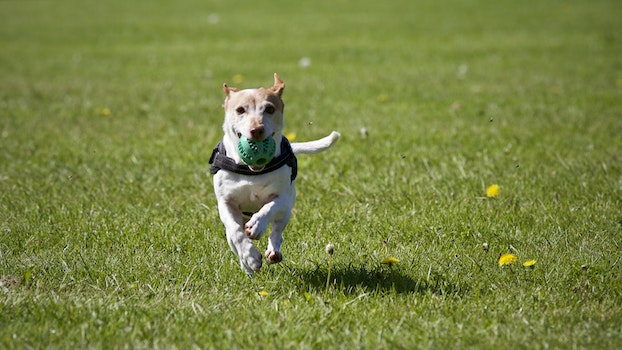 Free stock photo of dog, pets, ball, running