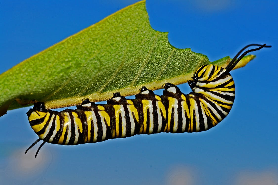Black Yellow and White Monarch Butterfly Caterpillar