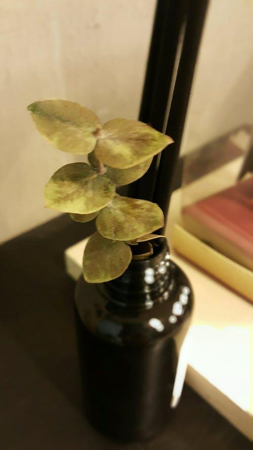 Immagine gratuita di deodorante, erba, eucalipto, profumo