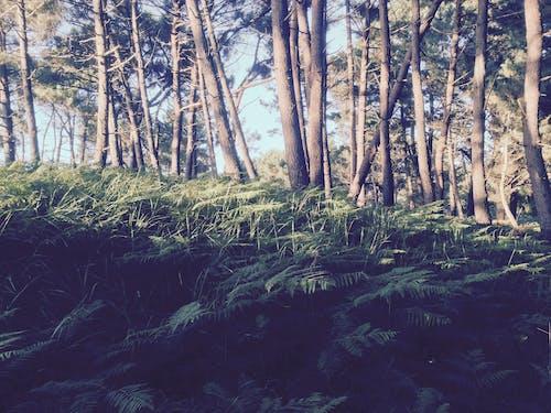 Free stock photo of pine, woods
