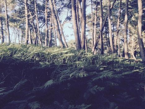 Free stock photo of woods, pine