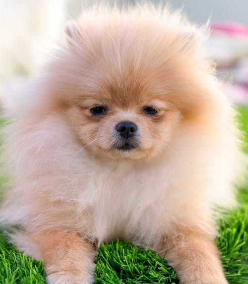 Cute obedient Pomeranian dog resting on grass