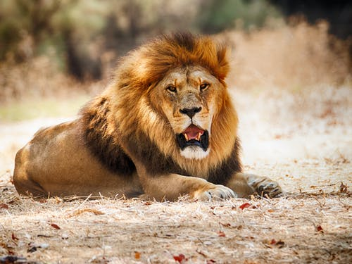 Male lion lying on ground in wild nature