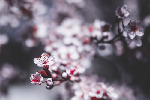 Delicate white flowers of thin twig