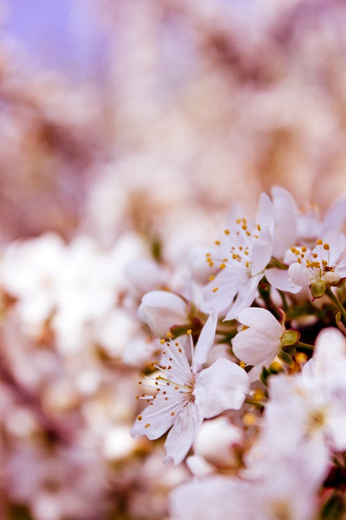 Fotos de stock gratuitas de al aire libre, cerezos en flor, crecimiento, delicado