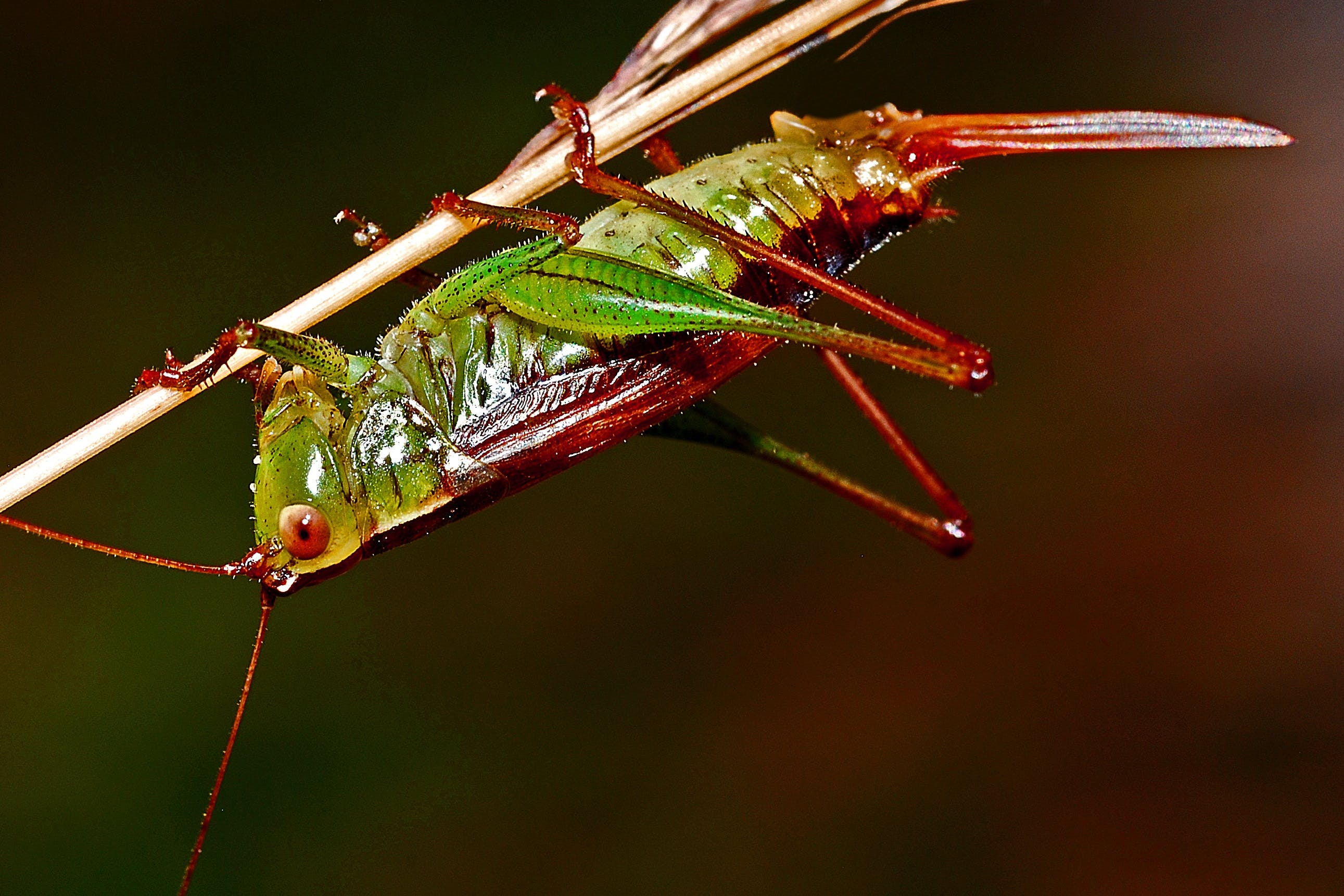 Red and Green Grasshopper