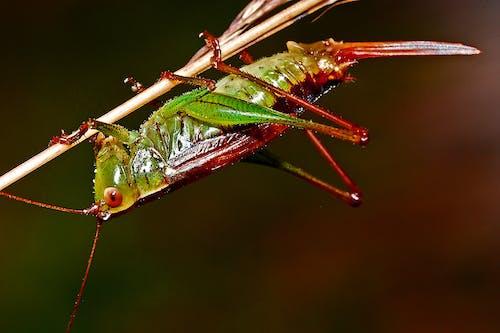 Δωρεάν στοκ φωτογραφιών με macro, άγρια φύση, ακρίδα, αρθρόποδα