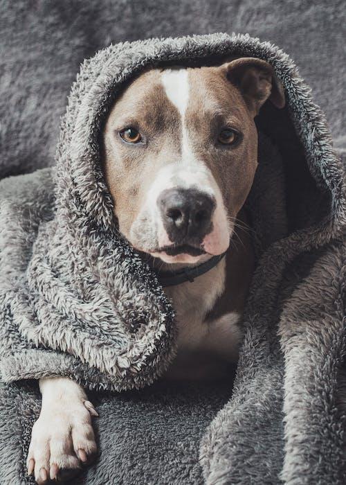 Pitbull Terrier Covered in Blanket