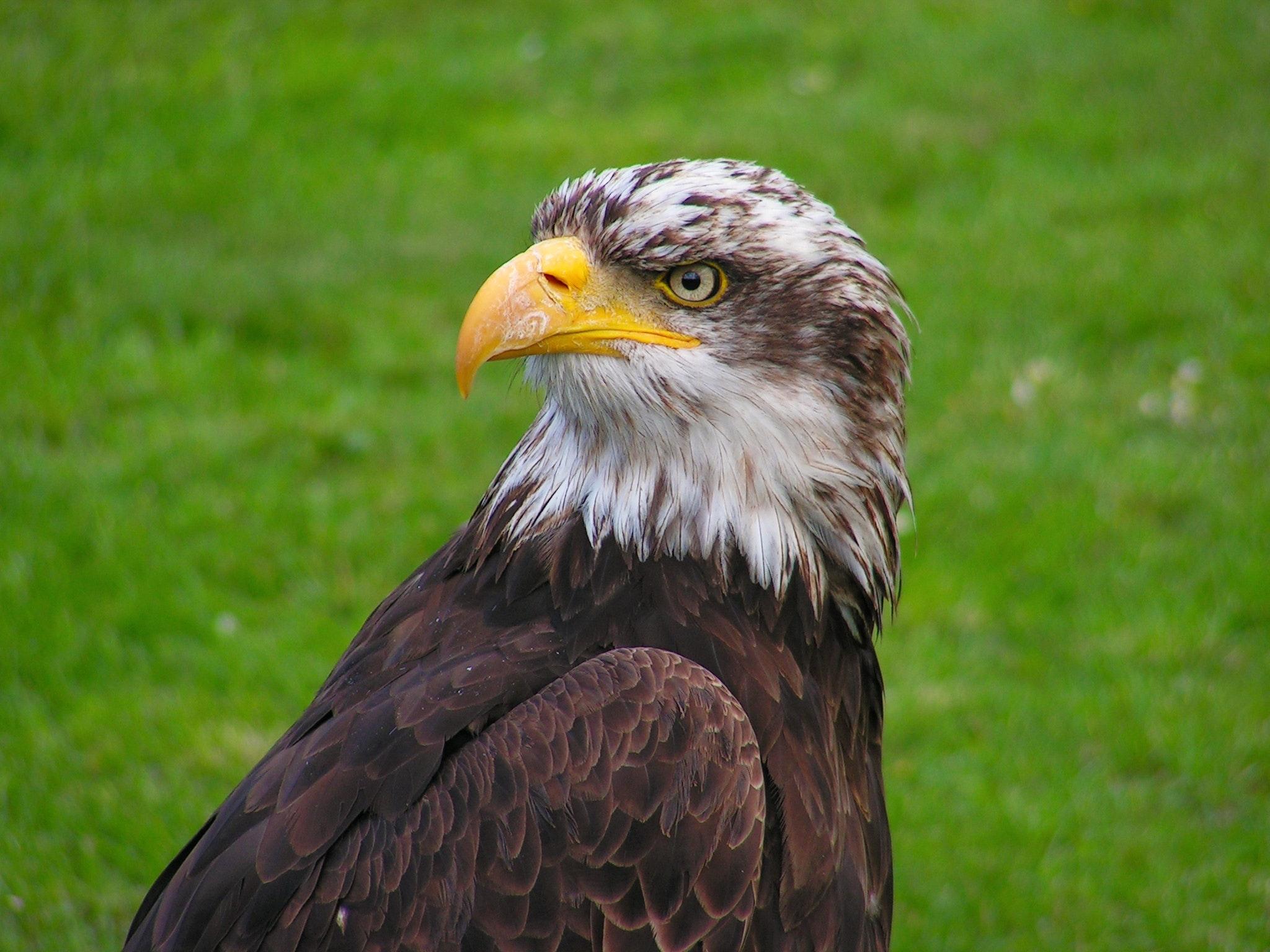 Adler Tier