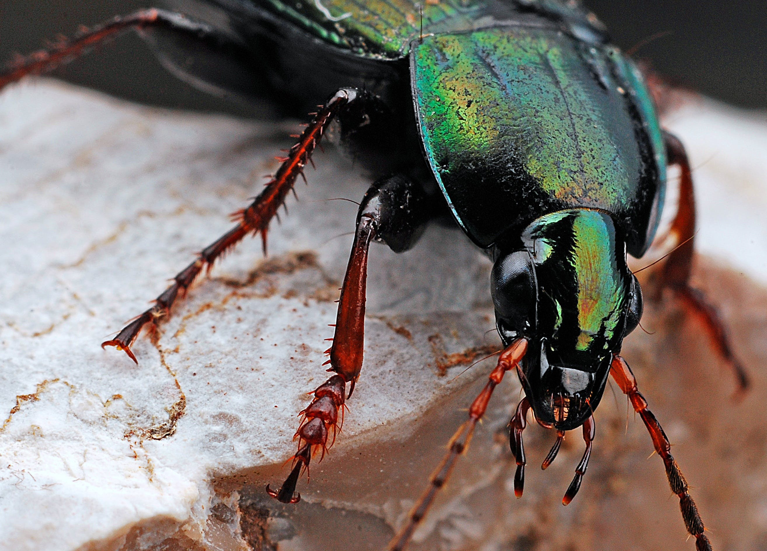 Black and Green Insect