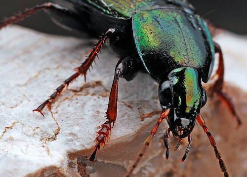 Foto stok gratis alam, beetle, kaki, makro