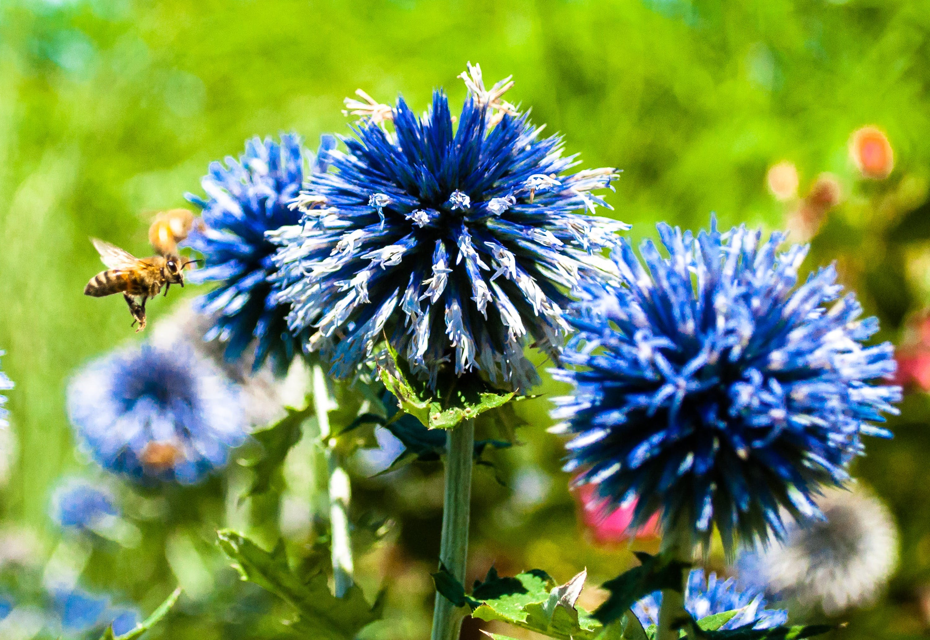 bee, blue flowers, cornflowers