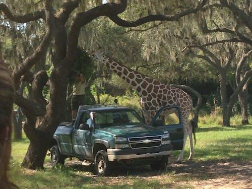 Free stock photo of safari