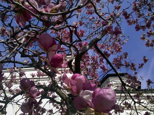 Free stock photo of blossom, blue sky, church