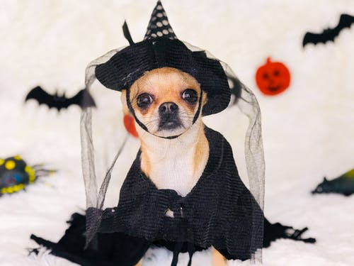 Cute Chihuahua in Halloween costume on plaid