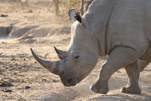 Rhinoceros Walking on Dirt