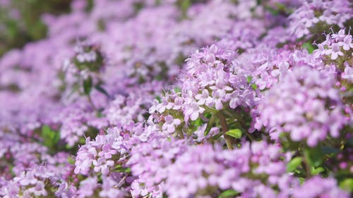 Free stock photo of flower, purple, spring