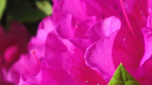 Free stock photo of azalea, red