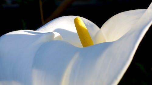 Free stock photo of calla lily