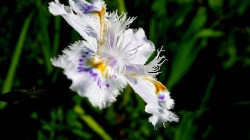 Free stock photo of fringed iris