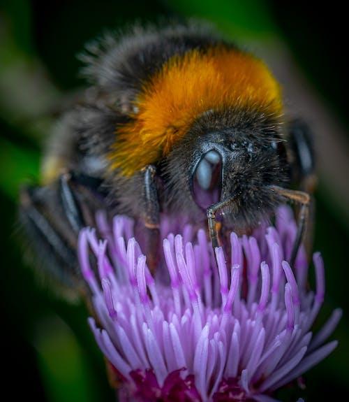 Free stock photo of bumblebee, flower, macro