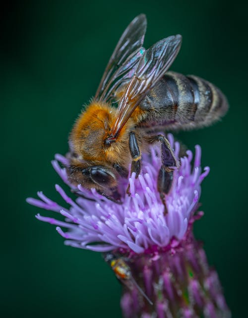 Yellow and Black Bee on Purple Flower