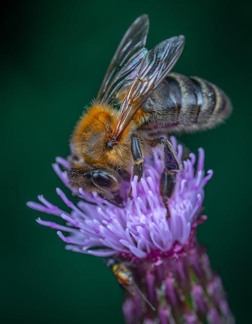 Gratis lagerfoto af bestøvning, bi, blomst, dyr