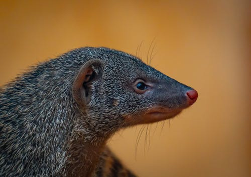 Brown and Black Animal in Close Up Photography