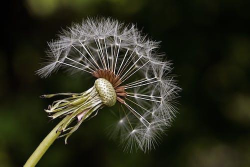คลังภาพถ่ายฟรี ของ ดอกแดนดิไลออน, ธรรมชาติ, พืช, แมโคร