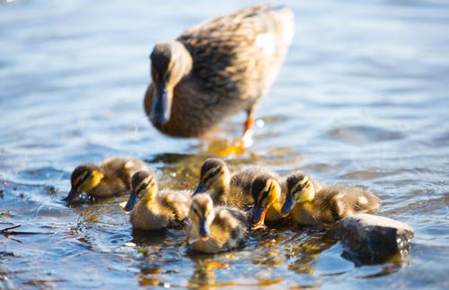 From above of many small ducks with bright plumage floating on pond near mother in sunlight in back lit