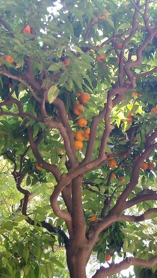 Free stock photo of apfelsinen, orange, tree