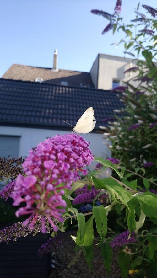 Free stock photo of butterfly, flieder, Schmetterling