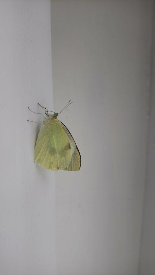 Free stock photo of butterfly, Schmetterling