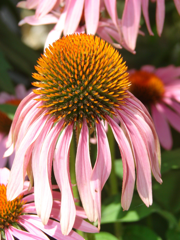 Pink Petaled Yellow Pistil Flower