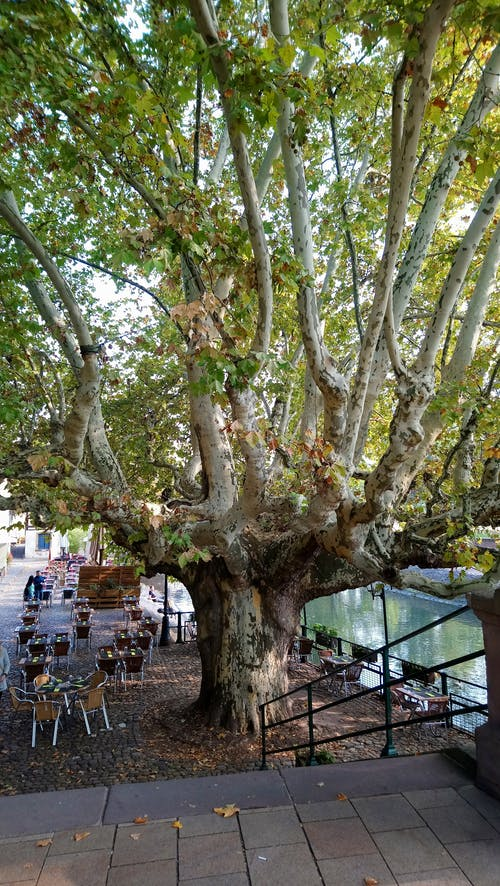 Free stock photo of baum, tree