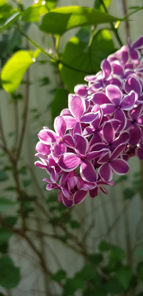 Free stock photo of blooms, flowers, light, lilac