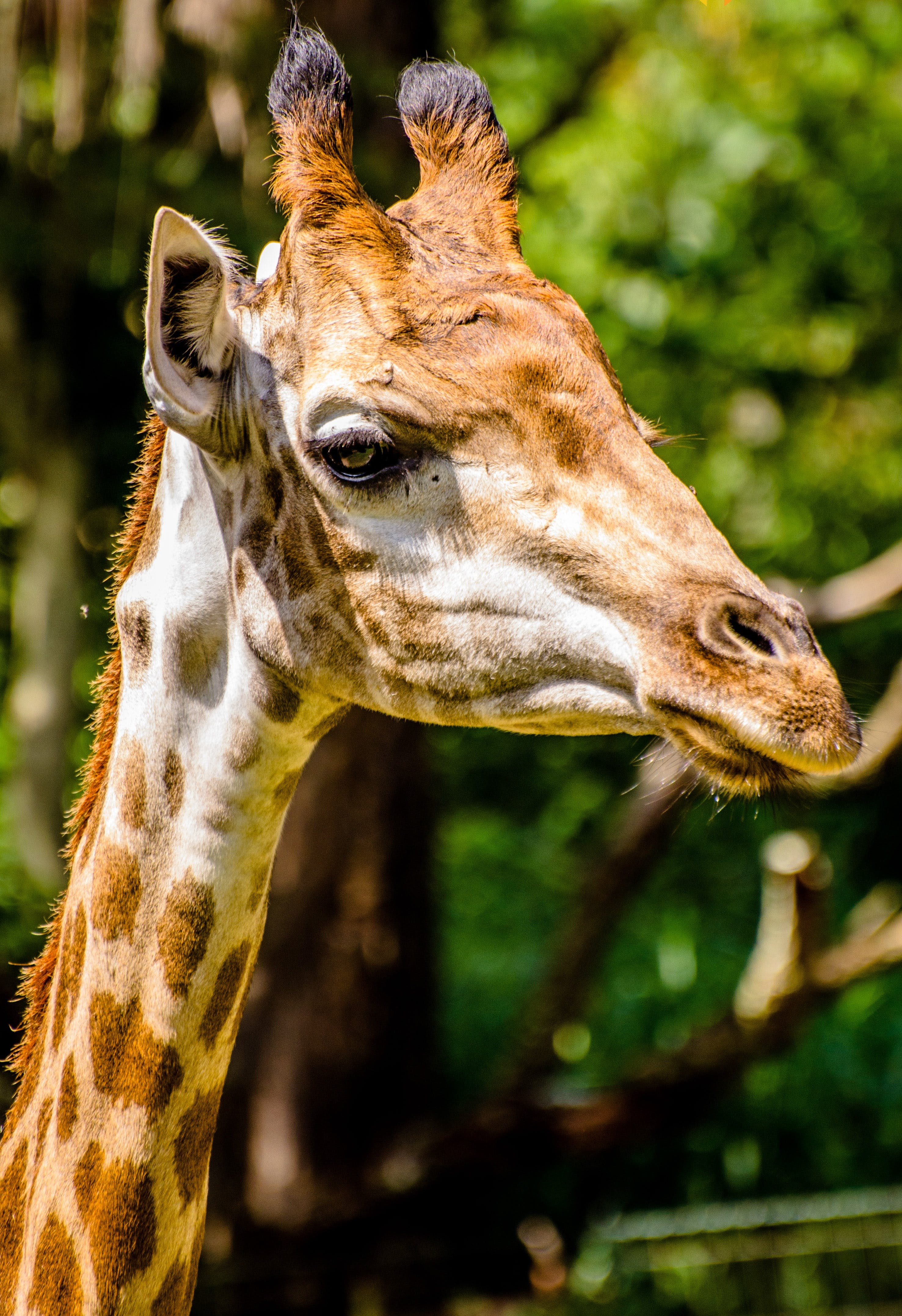 africa, animal, giraffe