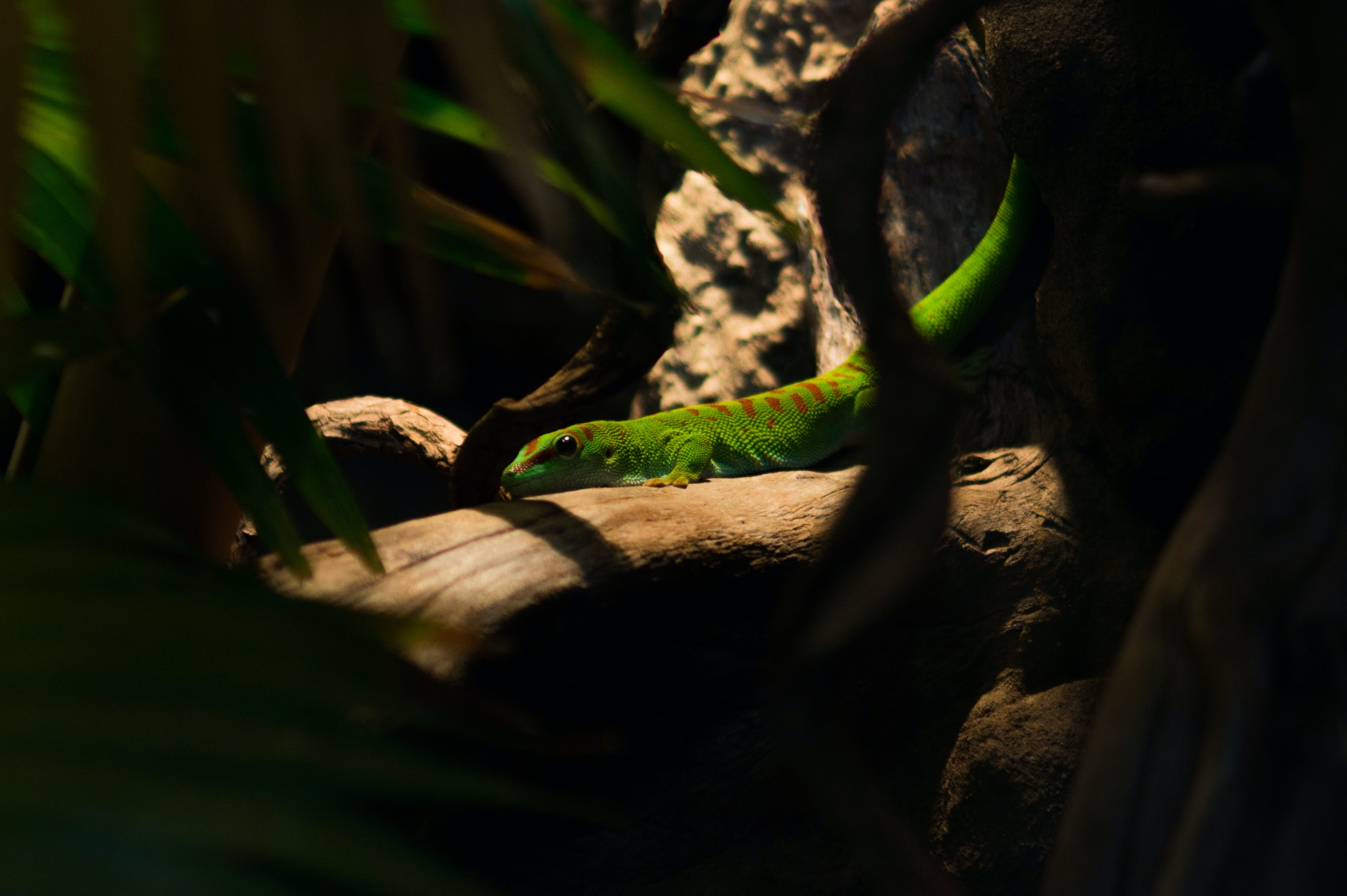 Green and Brown Iguana
